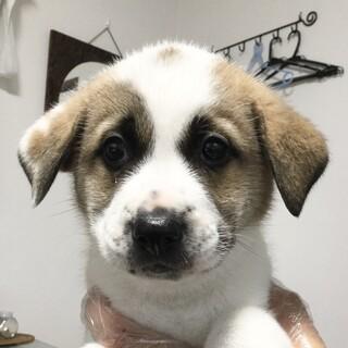 雑種のオス(大型犬)の生後2ヵ月の子犬です。