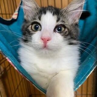 【ちょっとだけ長毛】美猫のスチュアートちゃん