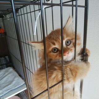 毛長の子猫の里親さん募集 12月2日に保護