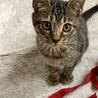 子猫 キジトラ男の子 里親募集