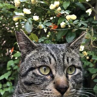 生後1年から1年半の穏やかな賢い保護猫