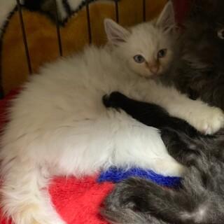 長毛の白猫ちゃん 男の子