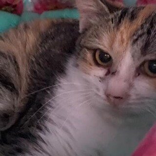 鈴音♡おだやかなきれいな三毛猫