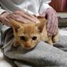 とても人懐こい茶トラの子猫