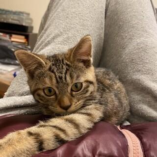 生後4ヶ月のマンチカンの子猫