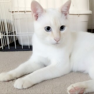 薄ブルーの目の☆美白猫君