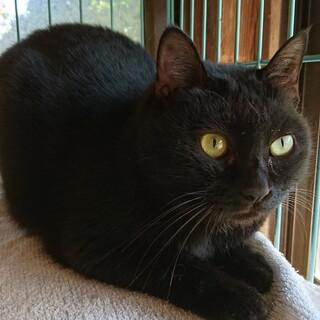 甘えん坊の黒猫メス
