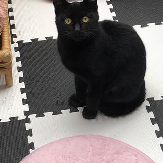 黒猫 生後約半年の女の子