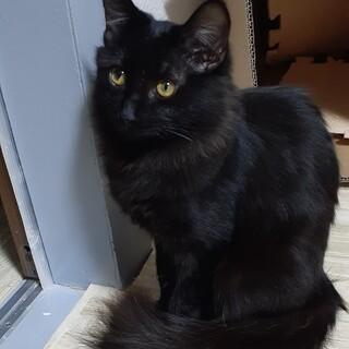 フワフワしっぽの半長毛黒猫女の子 トライアル