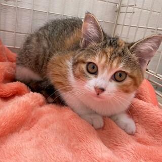 キュートな三毛猫リリーちゃん