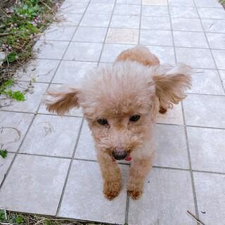 【一時停止】繁殖犬として生きてきたトイプー男の子