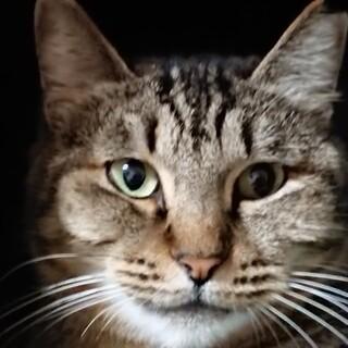 落ち着きの大人猫「さくら」