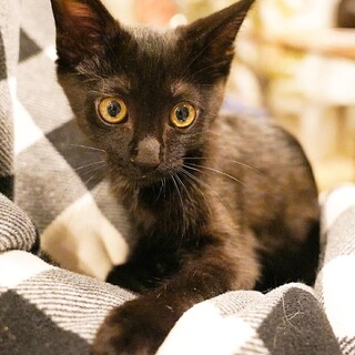 小顔でシュッとしてる黒子猫★懐っこい性格の男の子