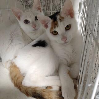 4か月半の三毛と白猫姉妹。姉妹一緒に。