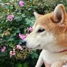 つむぎちゃん~愛らしい柴犬女の子~ サムネイル3