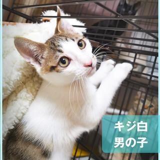 譲渡会でまってるよ♪キラ男の子★キジシロ子猫