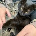 可愛い黒猫、キジトラ兄妹仔猫!募集停止