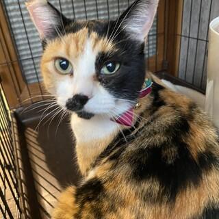 美しい三毛猫のララ