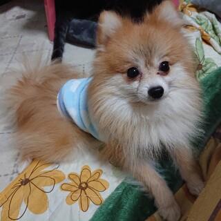 ポメラニアン★チロル 繁殖引退犬