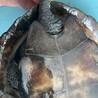 クサガメ 甲羅サイズ13cmメス サムネイル3