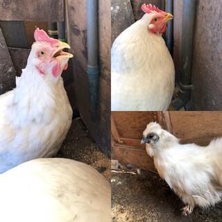 ニワトリ雌2羽・烏骨鶏雌1羽です。