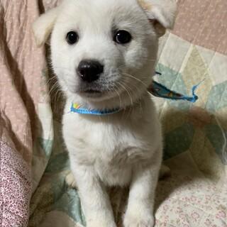 真っ白な可愛い仔犬①