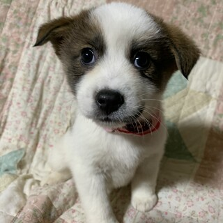 白茶ブチ模様の可愛い仔犬②