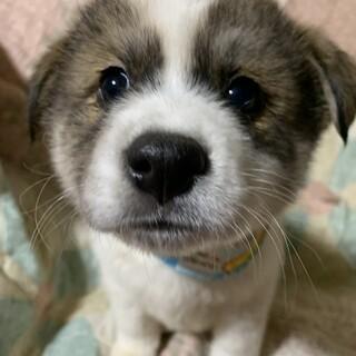 白茶ブチの可愛い仔犬③