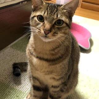 里親決定★2020年春に幼猫で保護「ソラト」