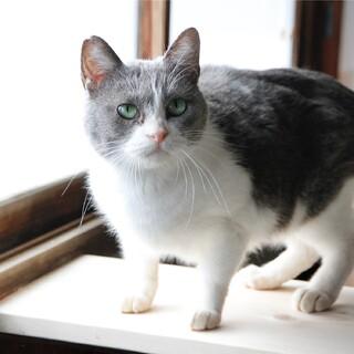 人も猫も好き!陽気な洋猫風はちわれグレー白♀