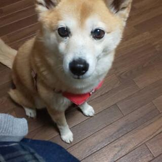 ちから)人大好き❤フレンドリー柴犬