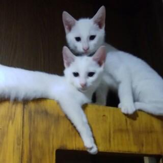 【募集一時停止】綺麗な白の兄弟猫です♂