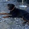 迷い犬のドーベルマン♀ サムネイル2