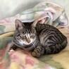 【十三四郎】猫より人に興味がある、キジ白男子 サムネイル2