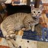 とても可愛い茶トラの子猫ちゃんの里親さん募集
