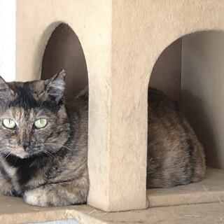 3本足で頑張ってきたサビ猫「チャコちゃん」