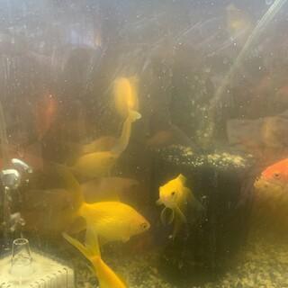 金魚 10匹程 種類ランダム