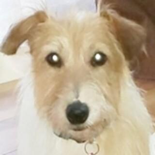 保護犬ナンバーD1467 ジャックラッセルテリア