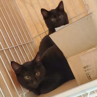 黒仔猫 お目目クリクリ兄妹