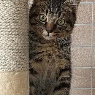 可愛いキジ猫の男の子『らる君』
