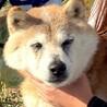 りくほくん~穏やかで性格◎な柴犬男のコ~ サムネイル4