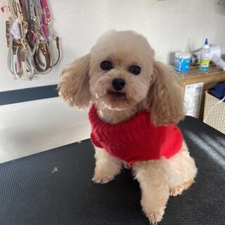 テディ☆人大好き小さめプードル♂