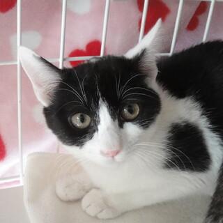 美猫な白黒まこもちゃん♪5ヵ月くらい