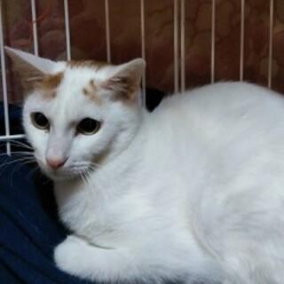 1歳 白キジ猫 おっとり甘えん坊 いとちゃん