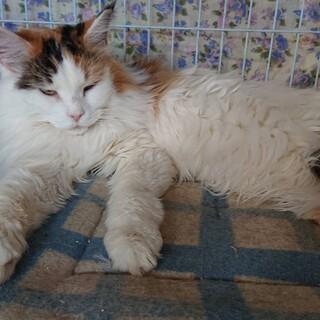メインクーン7歳女の子・猫カフェ飼育崩壊から保護