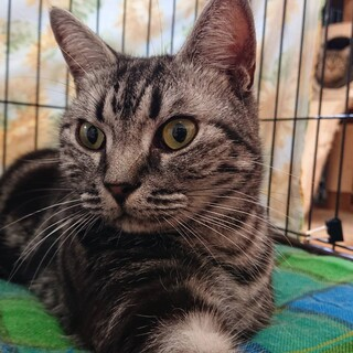 アメリカンショートヘア4歳男の子・猫カフェ飼育崩壊