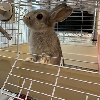 グレーの可愛いミニウサギ