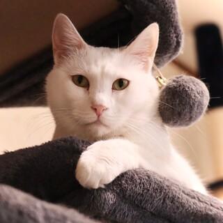 ★真っ白な大型猫ゴマ★人馴れ訓練中★猫ちゃん相性◎