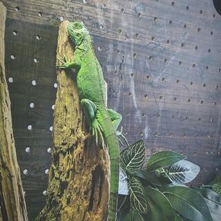 グリーンイグアナ※全長約70cm