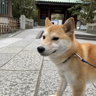 里親様決定・柴犬雌1歳小柄なかわいいコです